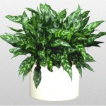 Aglaonema 'Emerald Beauty'
