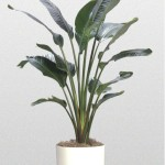 Strelitzia - White Bird of Paradise