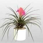 Tillandsia - Bromeliad
