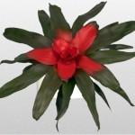Neoregelia - Bromeliad