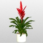 Vriesea - Bromeliad