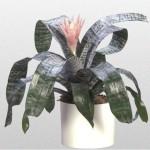 Aechmea - Bromeliad