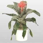 Fasciata - Bromeliad