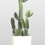 Euphorbia - Cactus Candleabra