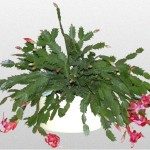 Schlumbergera - Cactus Christmas