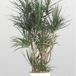 Dracaena - Madagascar Dragon Tree