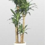 Dracaena - Corn Plant