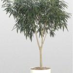 Ficus - Ficus 'Alii'