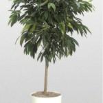 Ficus - Ficus 'Amstel King'