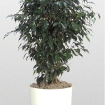 Ficus - Weeping Fig