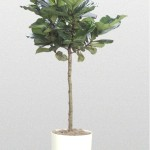 Ficus - Fiddle-leaf fig