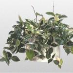 Hoya - Wax Plant