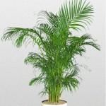 Dypsis - Palm Areca