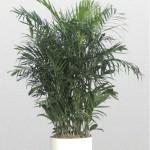 Chamaedorea - Palm Bamboo