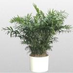 Chamaedoea - Parlor Palm