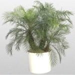 Phoenix - Palm Pygmy Date