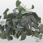 Philodendron - Heatleaf Philodendron