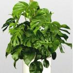 Deliciosaa - Philodendron Pertusum