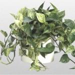 Epipremnum - Devils Ivy