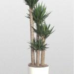 Yucca - Yucca