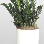 Zamioculcas - zamifolia - ZZ Plant